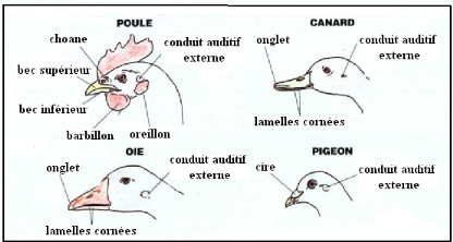 Anatomie Poule memoire online - appareil digestif de la poule: particularitès