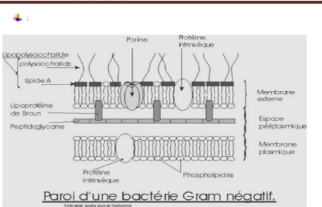 memoire online contribution ltude de lactivit antimicrobienne du genvrierjuniperus phoenicea essai des huiles essentielles et composs - Coloration De Gram Protocole