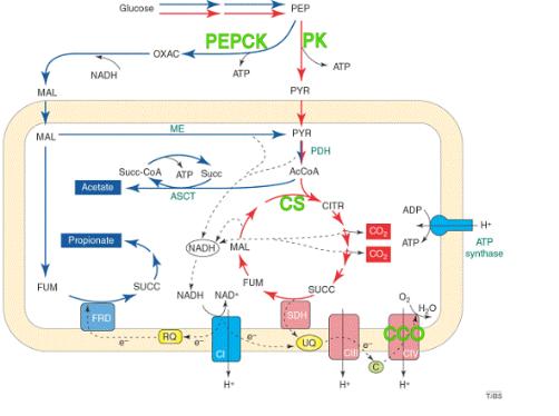 Schema metabolisme energetique