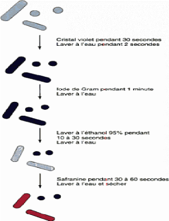 schma reprsentant la coloration de gram 22 - Coloration Gram