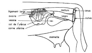 anatomie bovin