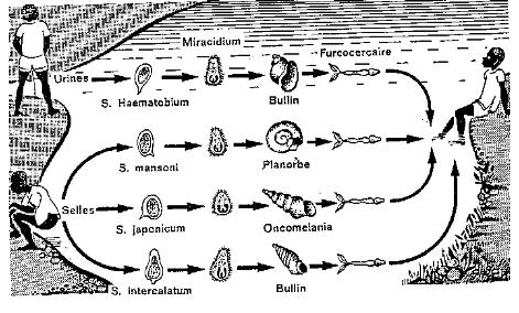 Memoire Online - Evolution de la schistosomiase dans le ...