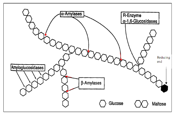 reaction rates of barley alpha amylase enzyme Steps of the brewing operations where microbial enzymes are used brewing with barley to bypass the rate limiting warm enzyme like α-amylase.