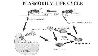 Asexual life cycle of plasmodium species malaria