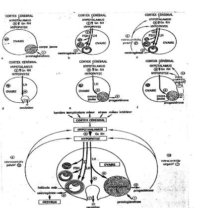 reproduction chez la vache pdf