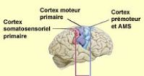 Memoire online une exp rience d 39 art th rapie dominante for Neurones miroir