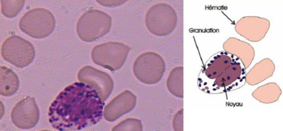 etude morphologique de la cellule pdf